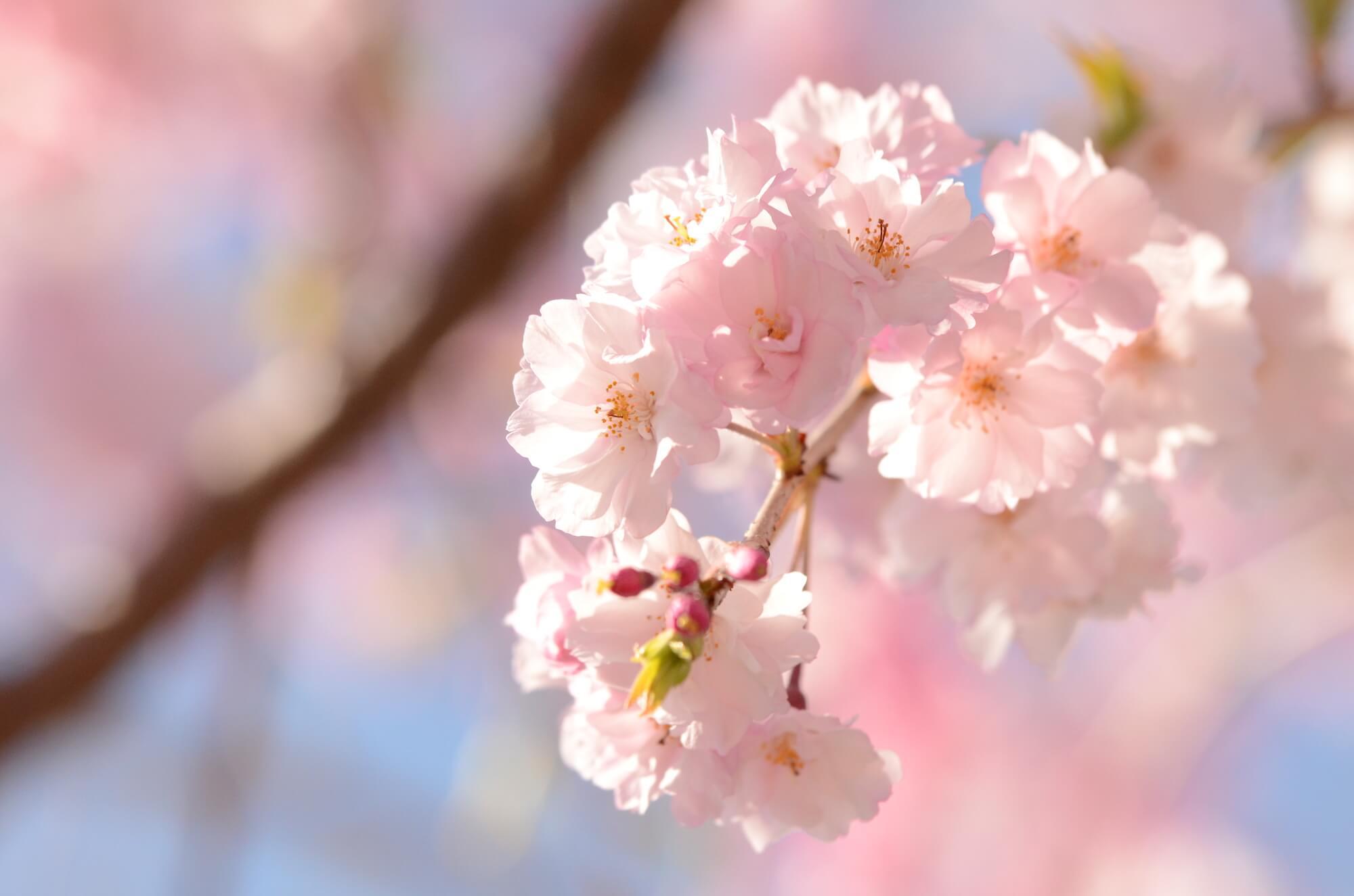 桜は綺麗だな…